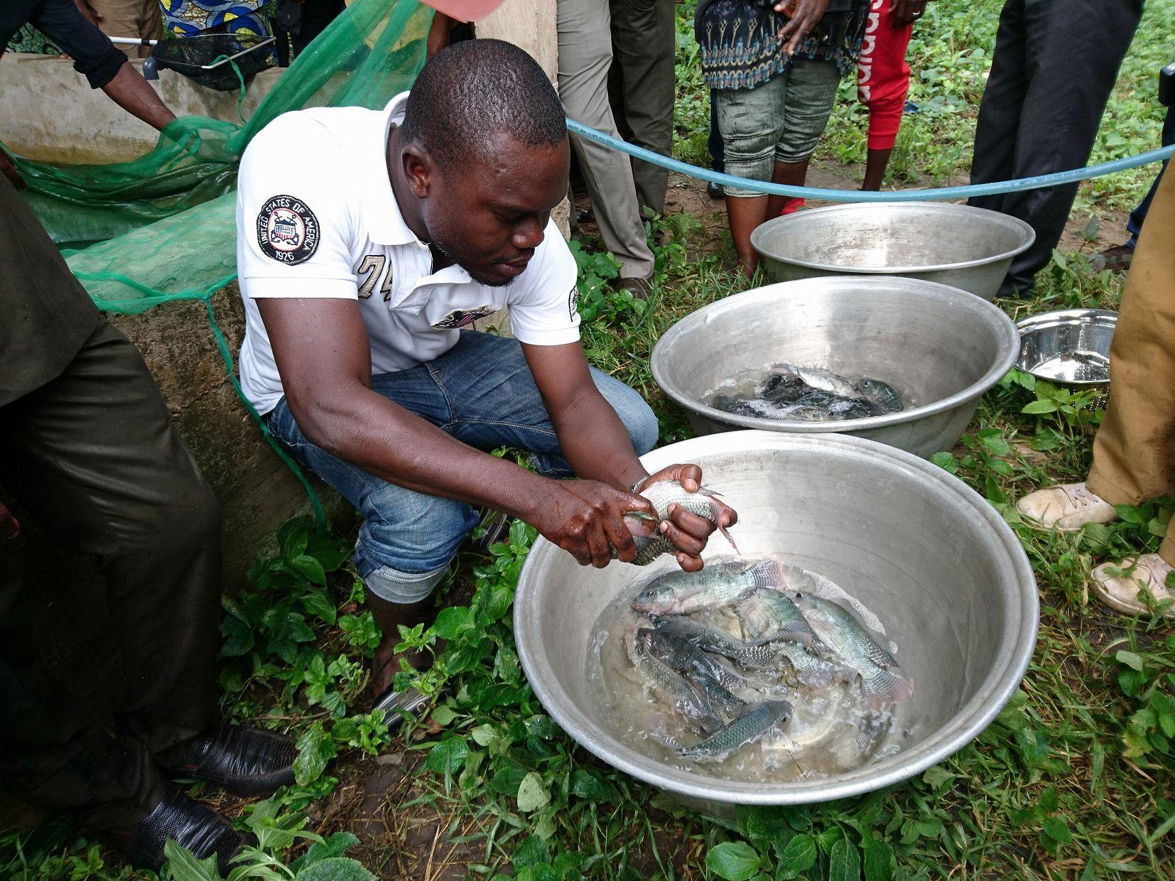 A project counterpart in Benin examining sex of tilapia parent fish