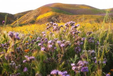 wildflowers Carrizo Plain National Monument