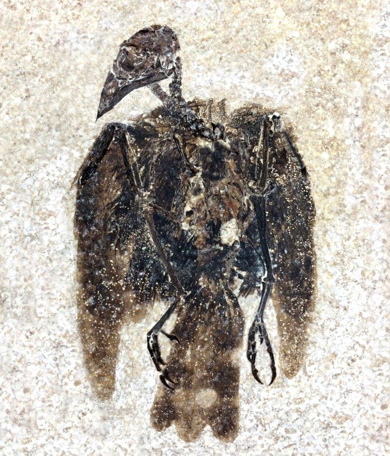 fossilized bird