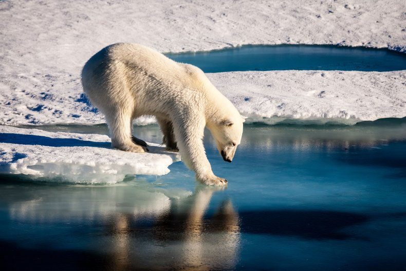 Polar Bear, Russia