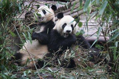 Giant Panda, Enclosure