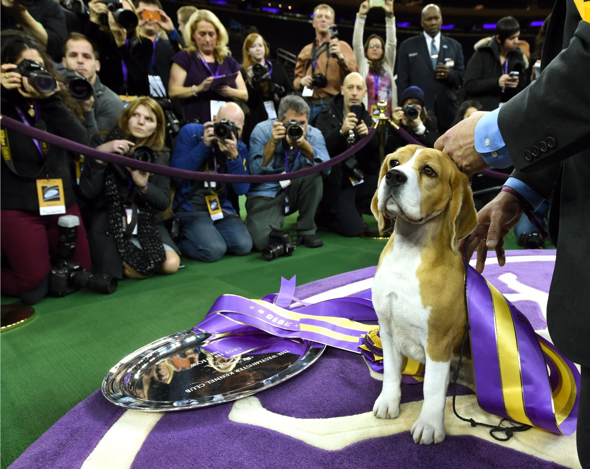 best in show westminster dog show judging