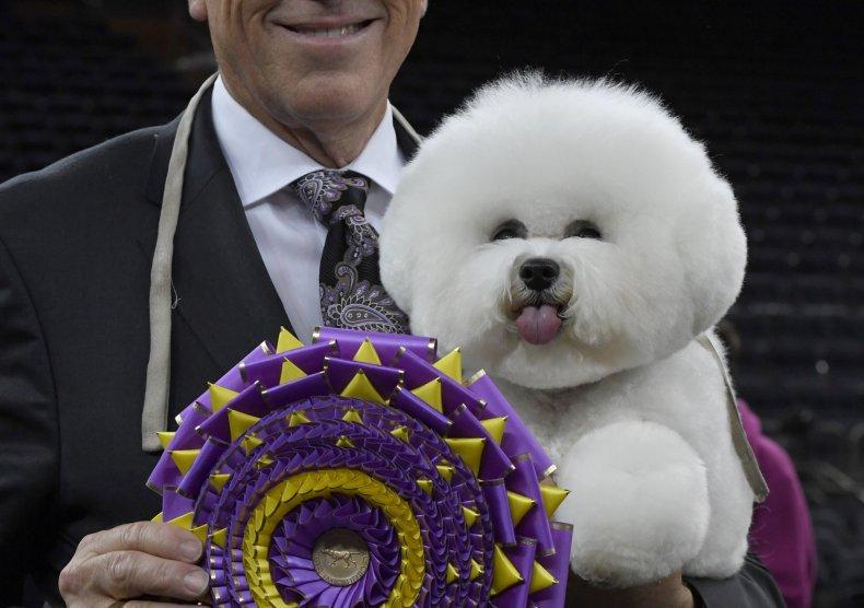 flynn best in show westminster dog show bichon frise
