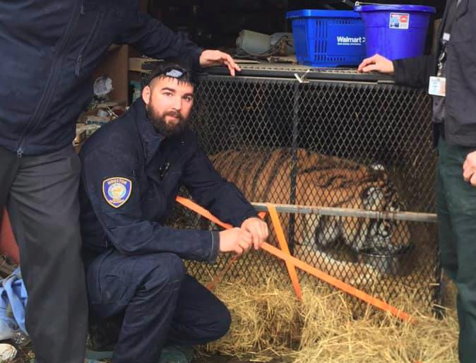 Tiger Found in Houston, Texas