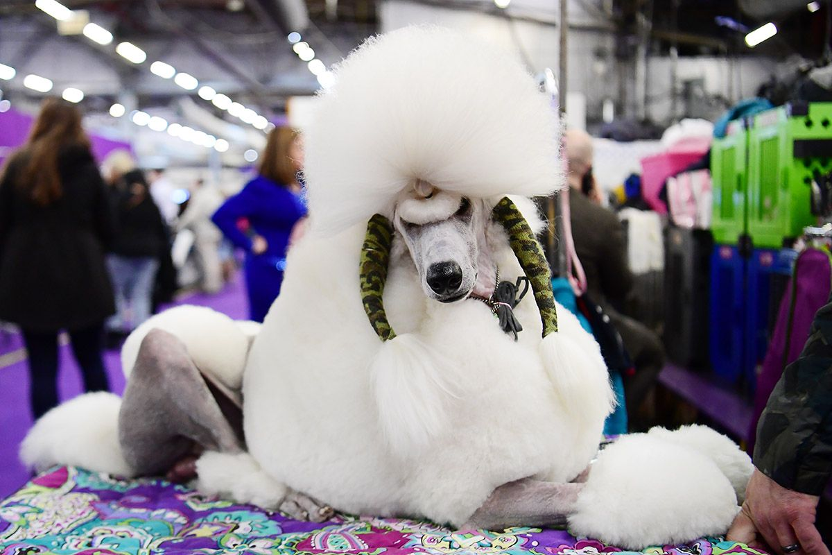 02 Westminster Kennel Club dog show