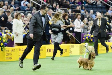 westminster dog show kennel club time, how to watch, livestream