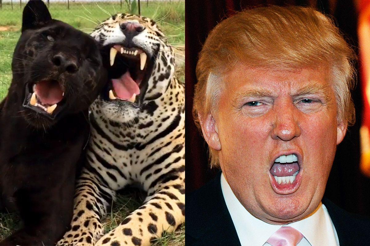 Trump Jaguar
