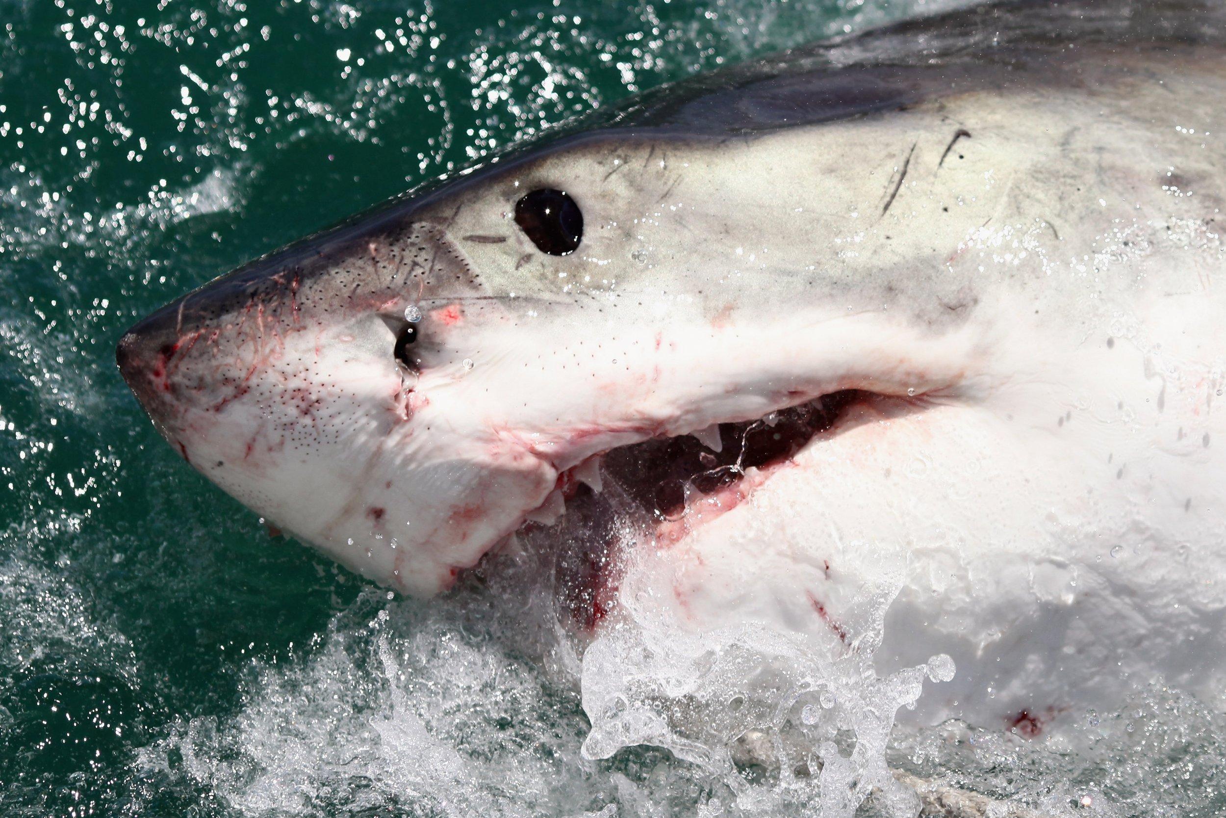 shark ocean getty