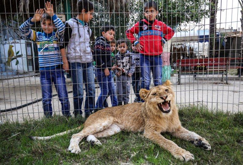 lion declawed rafah zoo play with kids