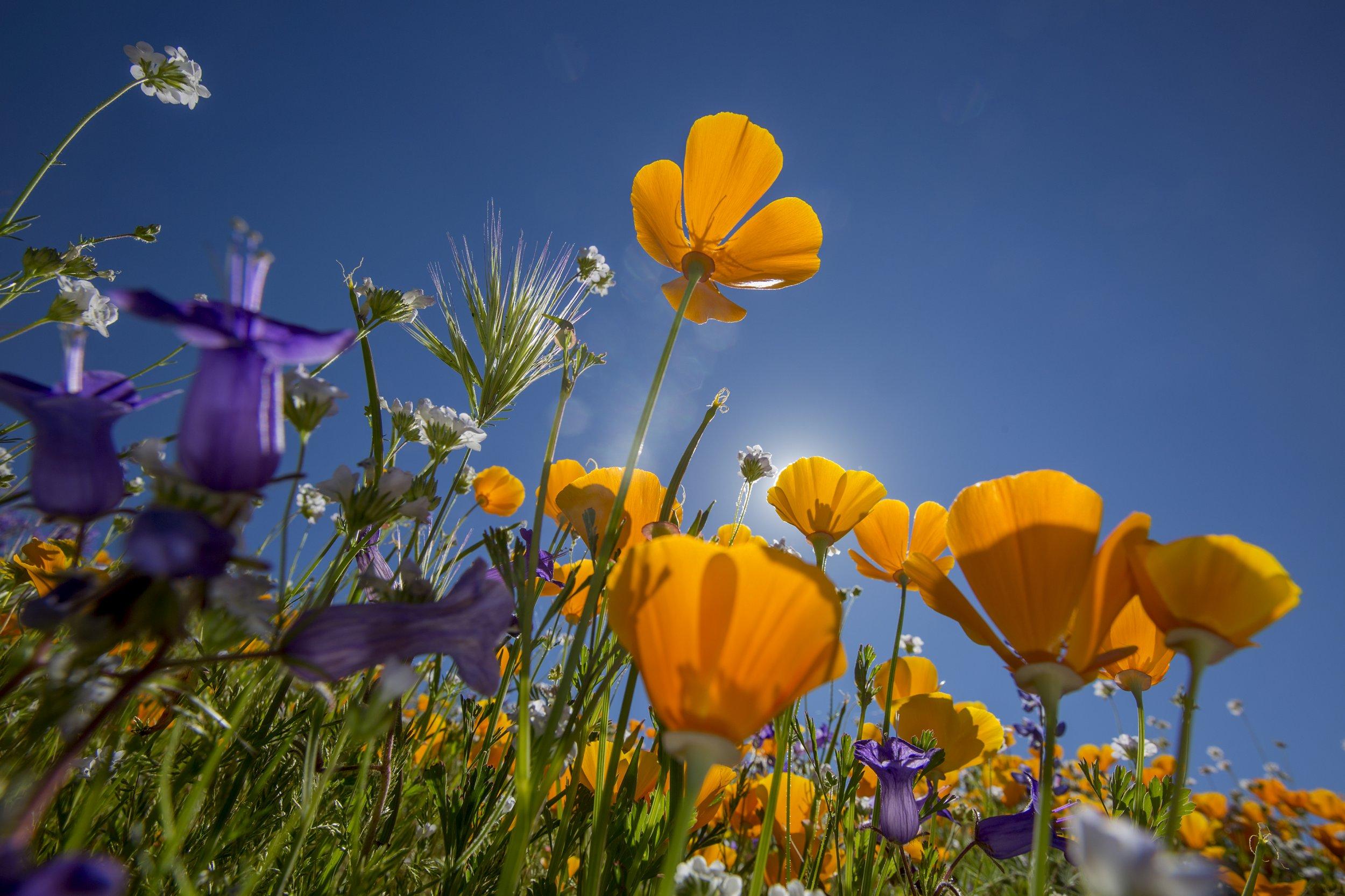 poppies california wild flower getty