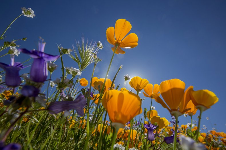 poppies california wild flower getty