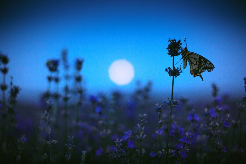 insect lavender butterfly