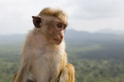 Toque Macaque, Sri Lanka