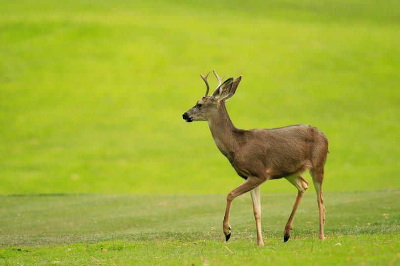deer, zombie deer, chronic wasting disease