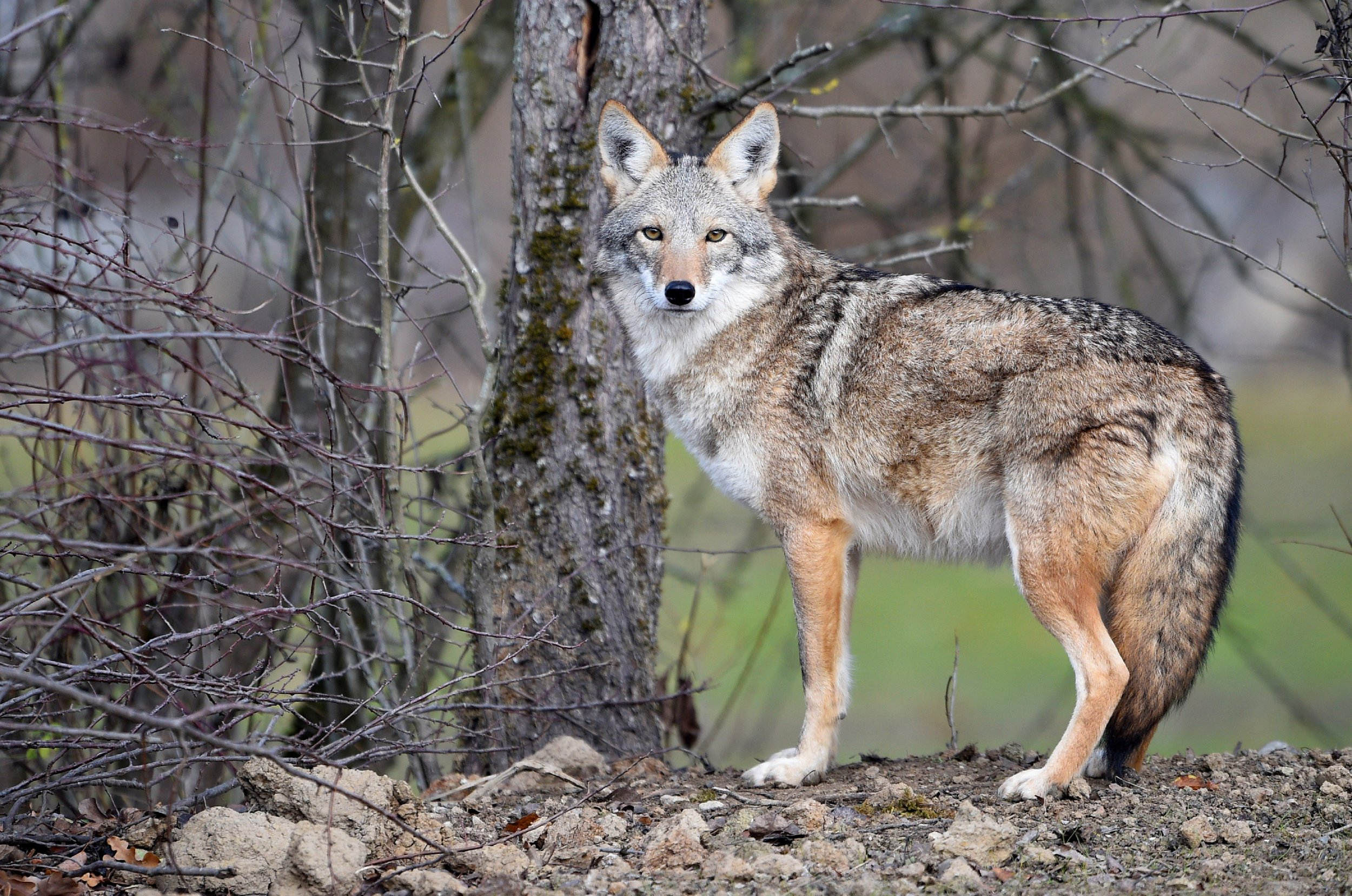 Florida Man Uses Coffee Cup to Fight Off Wild Coyote, Runs it Over