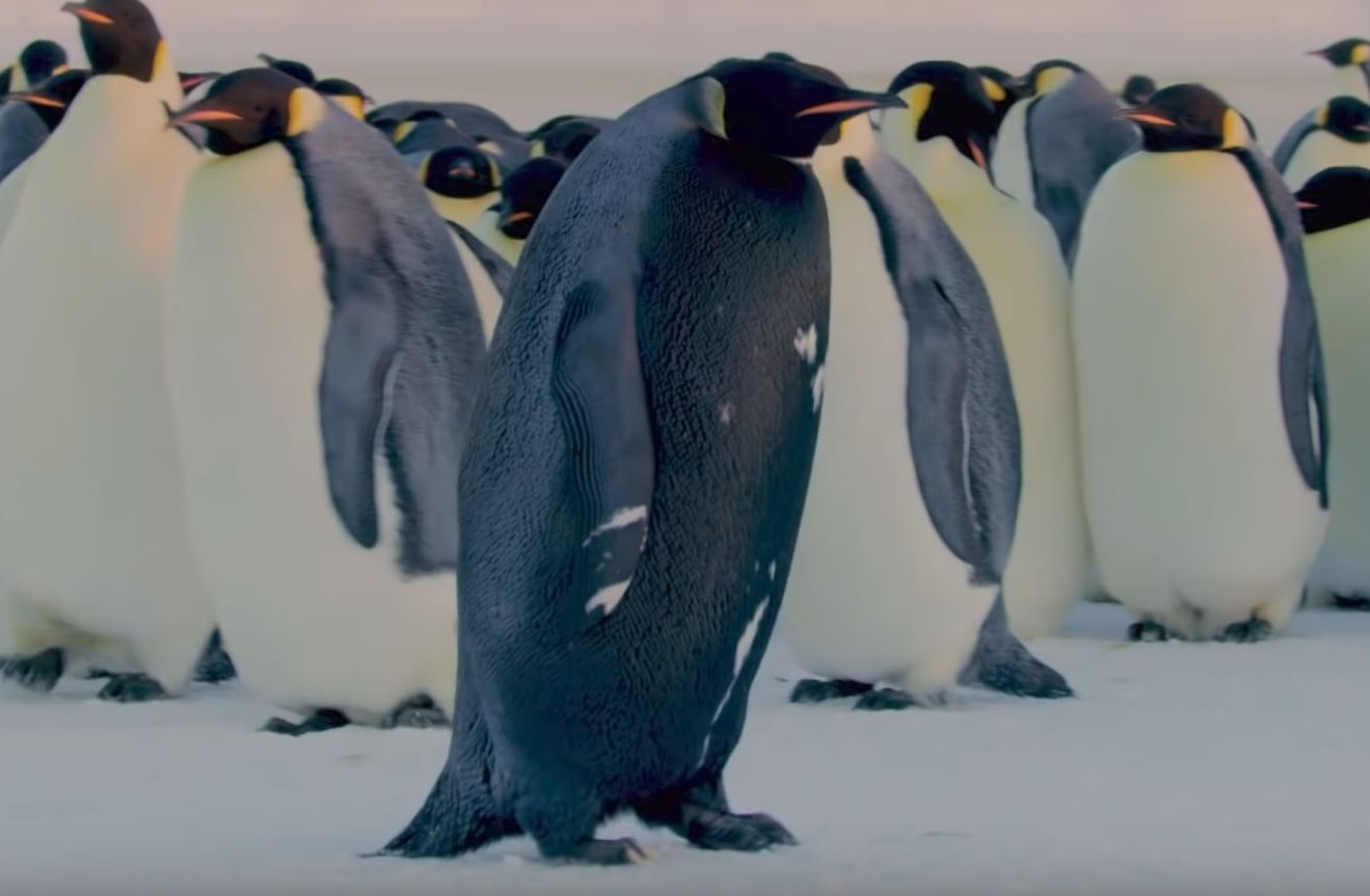 rare black penguin bbc dynasties