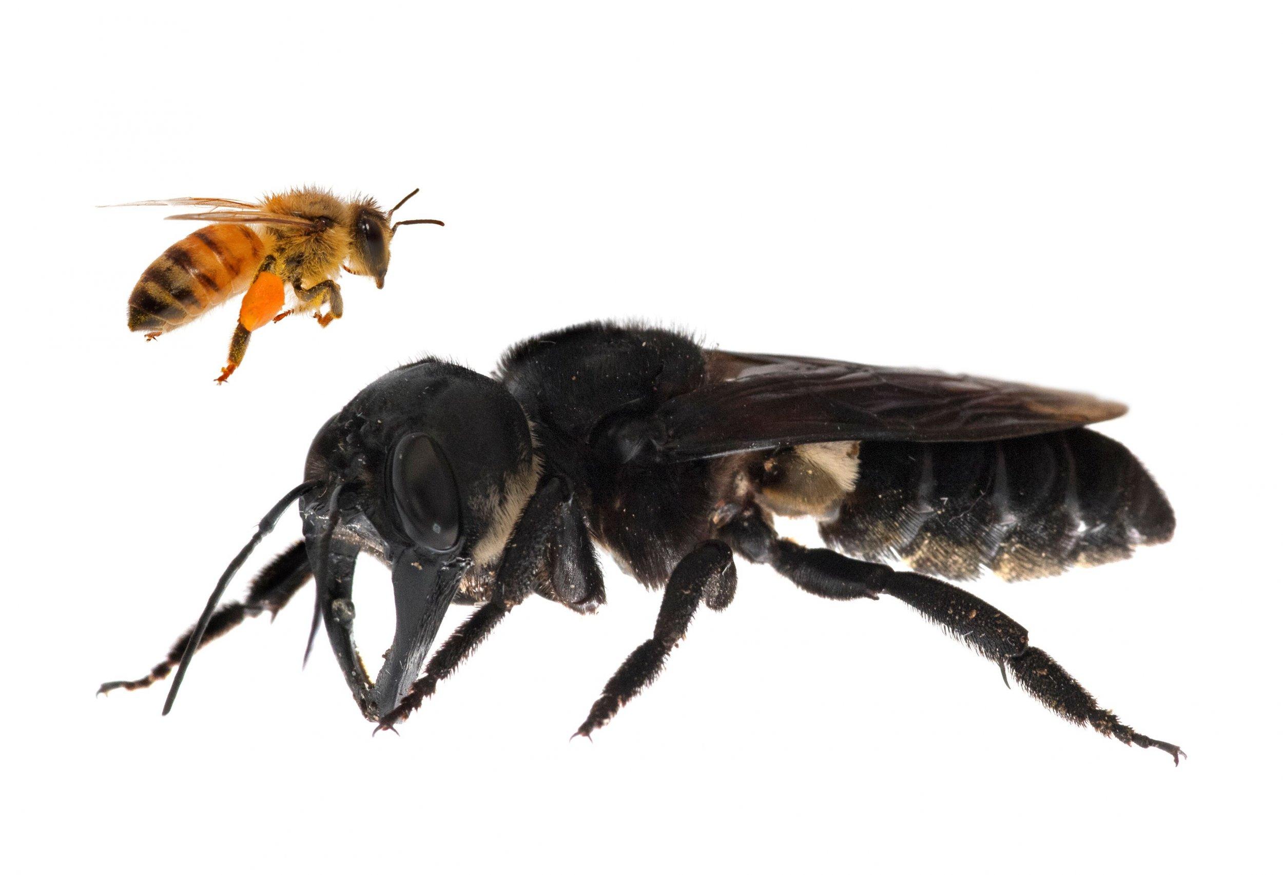biggest bee