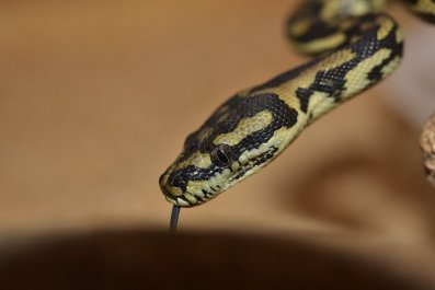 spotted python