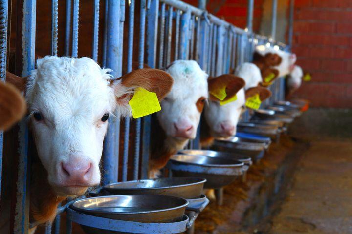 cows farming