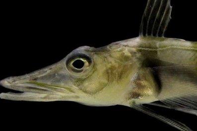 Antarctic blackfin icefish