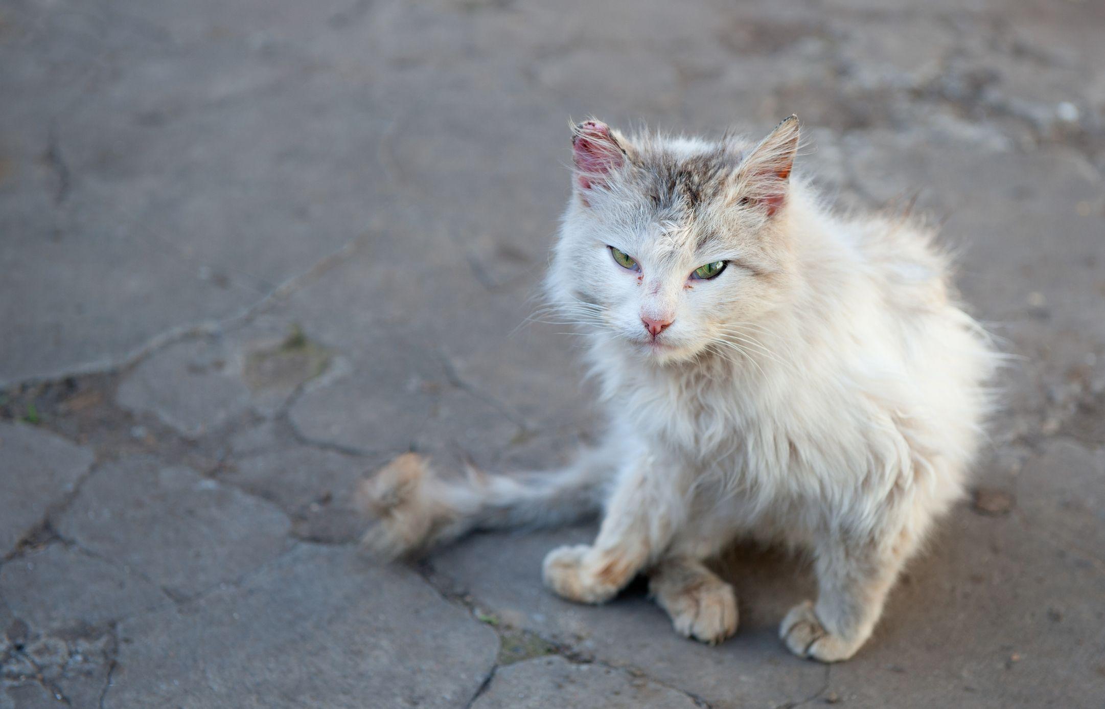 Cat, Rabies