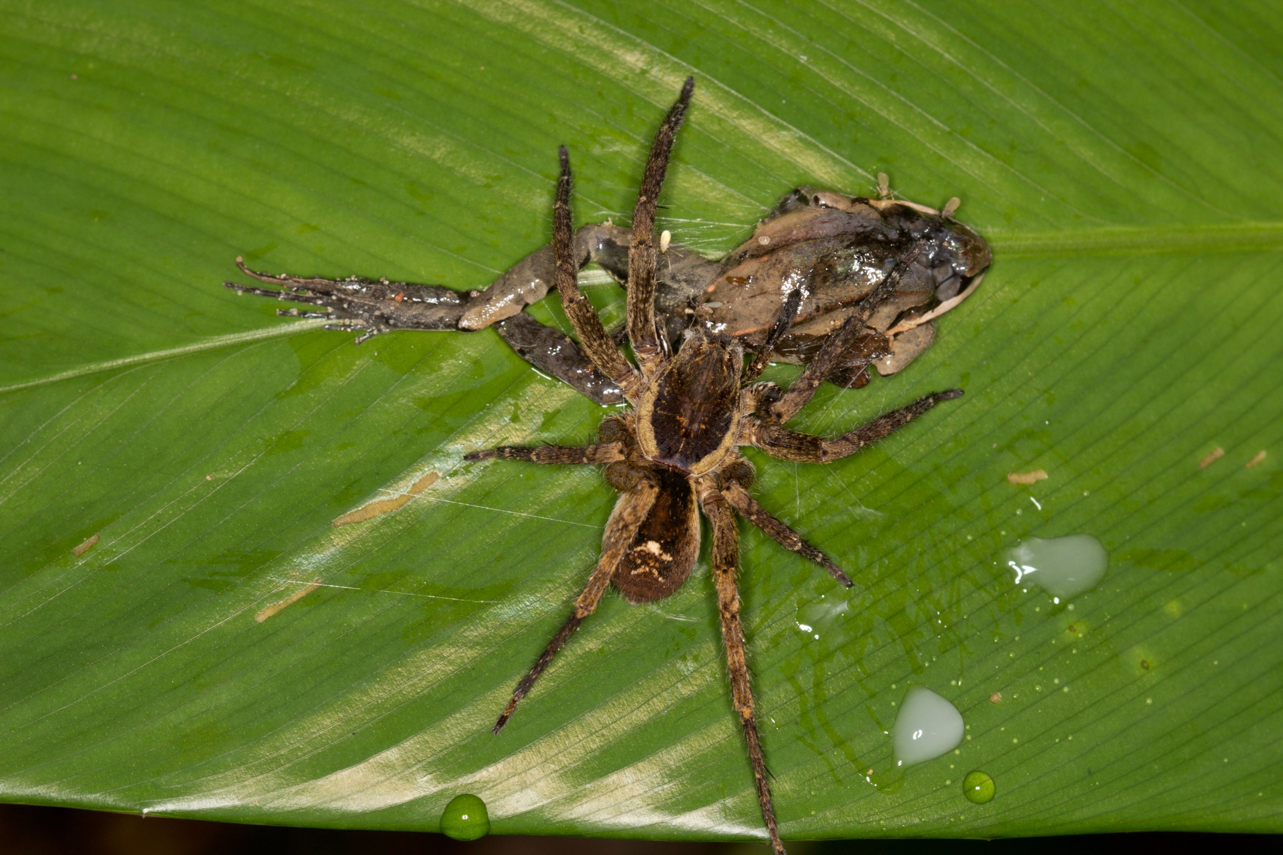 spider frog