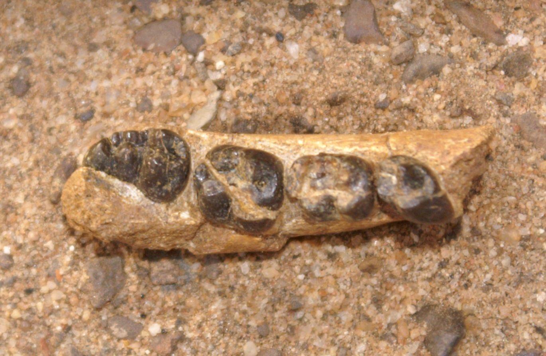 Alophia metios, ancien singe, Kenya