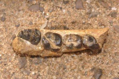 Alophia metios, ancient monkey, Kenya
