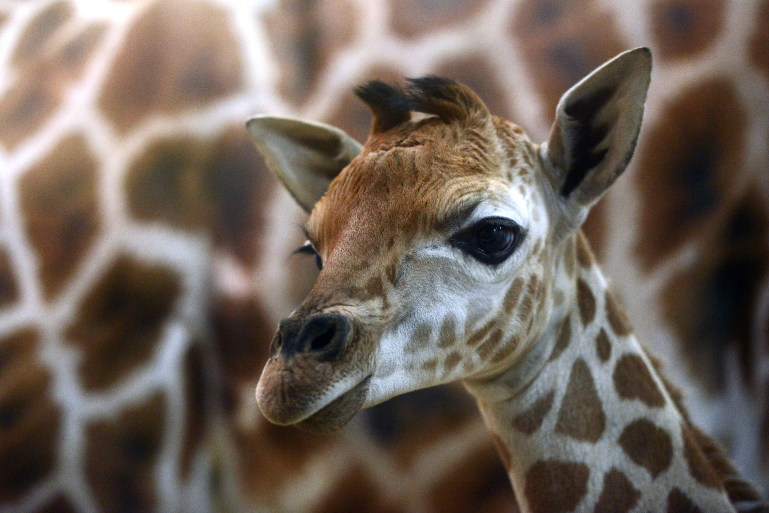It's a boy: April the Giraffe gives birth again
