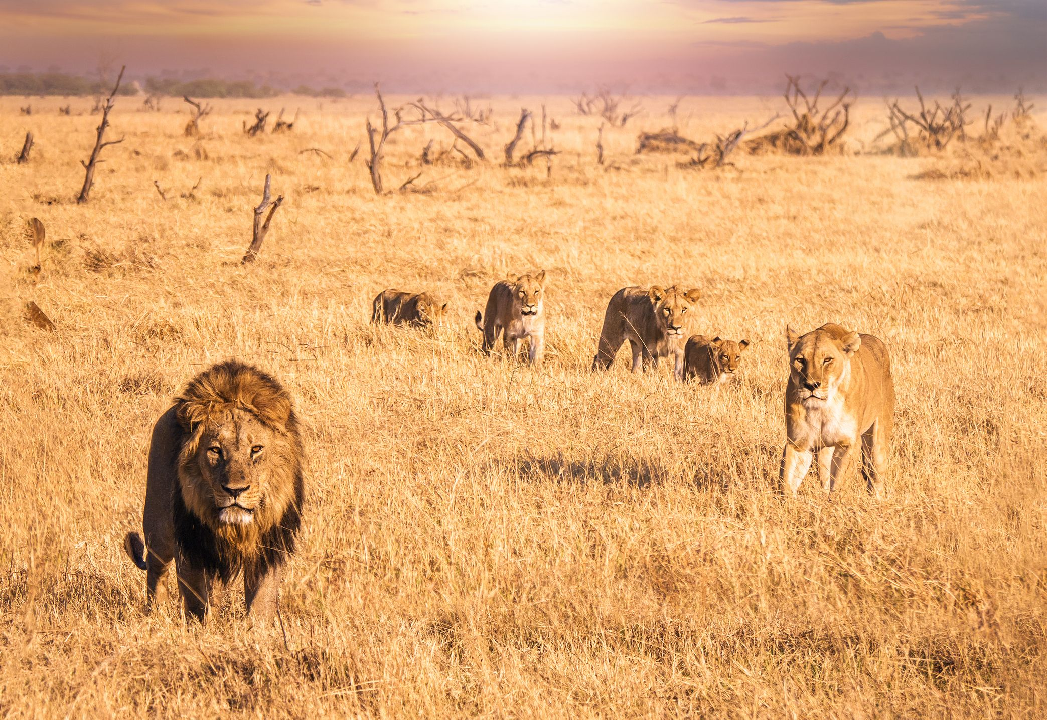 lion botswana safari stock getty