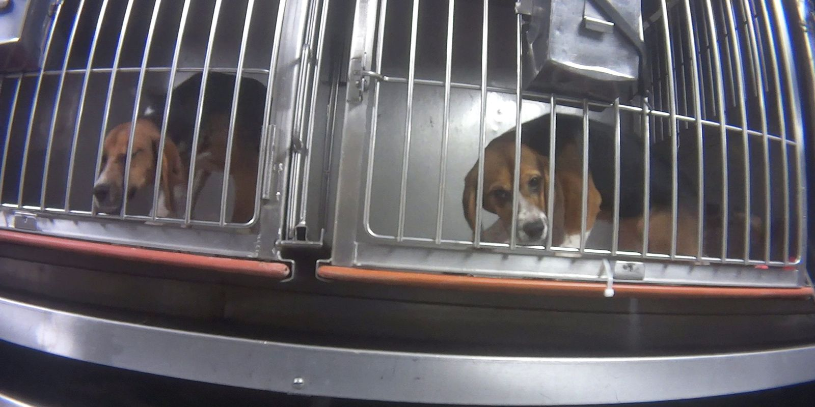 Humane Society Petition Goes Viral After Video Shows Beagles Force
