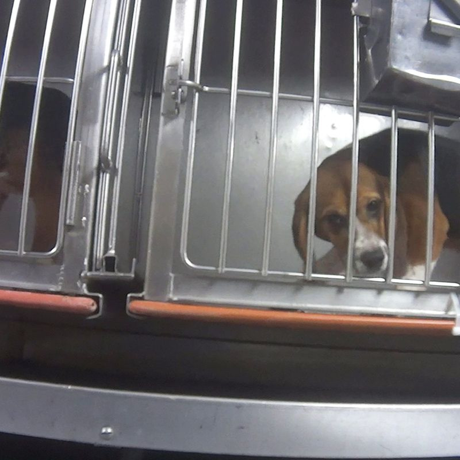 Humane Society Petition Goes Viral After Video Shows Beagles 'Force