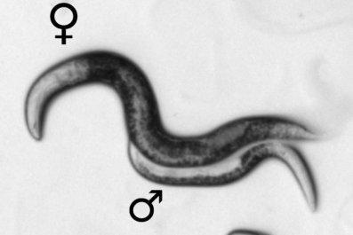Nematode male and female