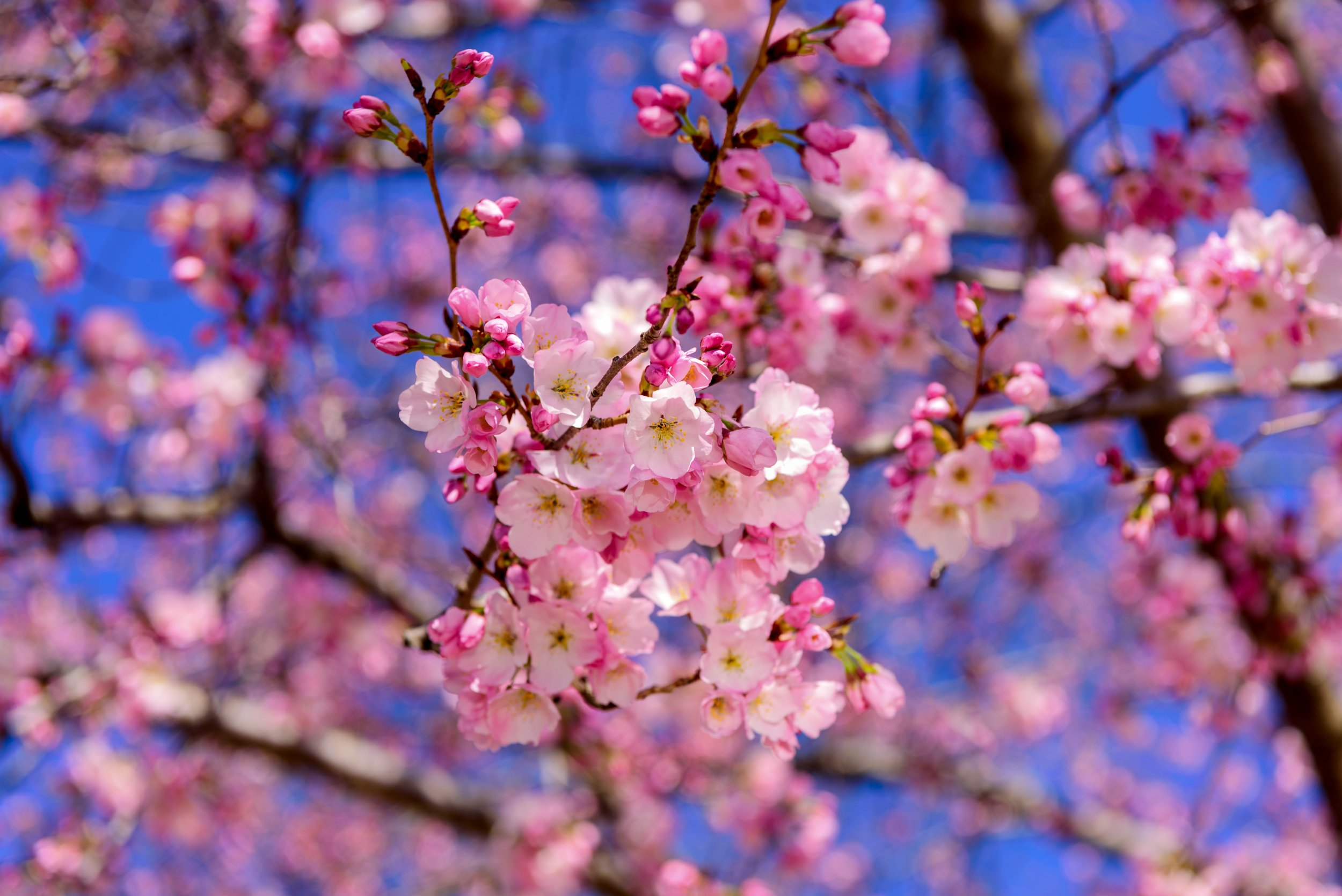 Where to Chase Cherry Blossoms This Spring