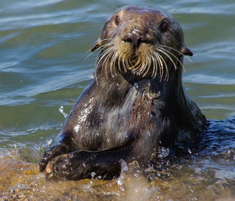 Sea Otter, Rocks