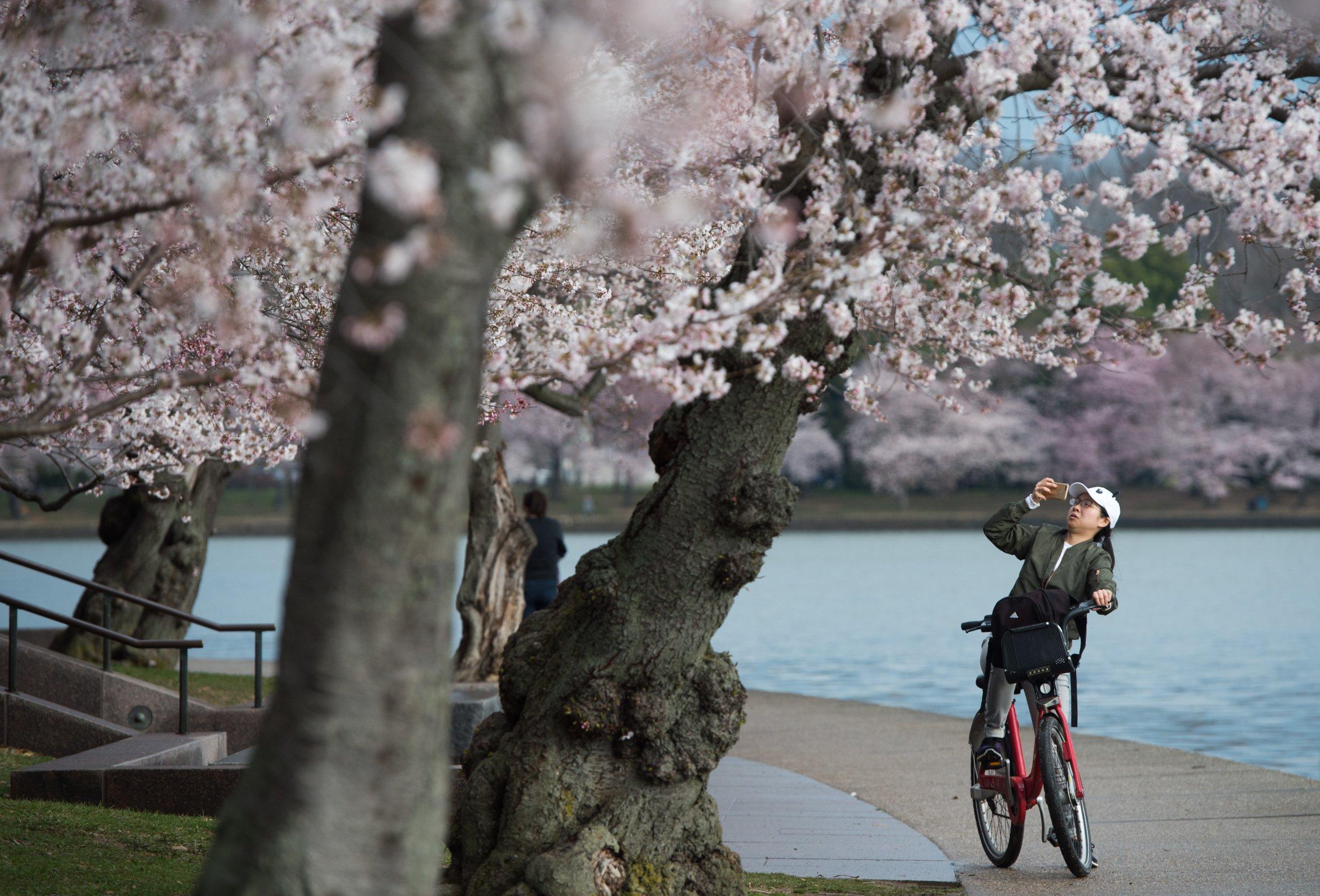cherry blossom spring time