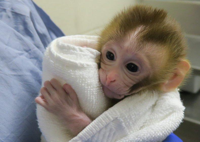 Grady monkey