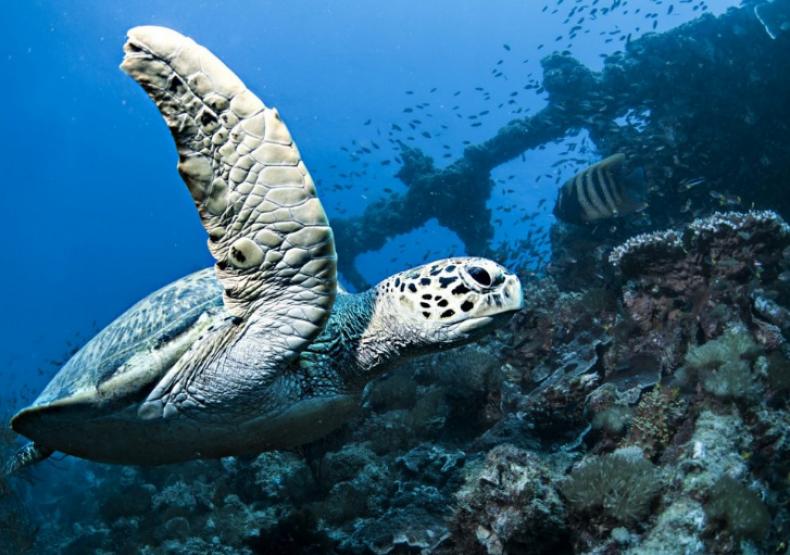 barrier reef Hawksbill Turtle - SS Yongala Shipwreck