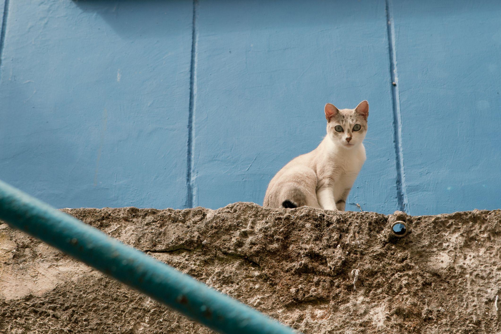 wild cat stock getty