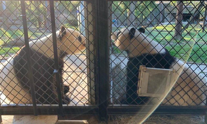 pandas talking