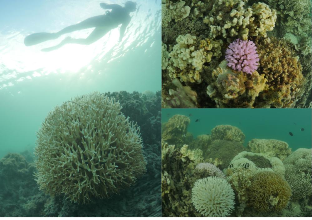 Lord Howe Island Marine Park, coral bleaching