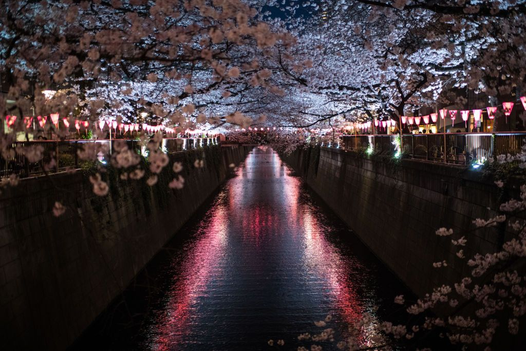 Tokyo Cherry Blossom 1