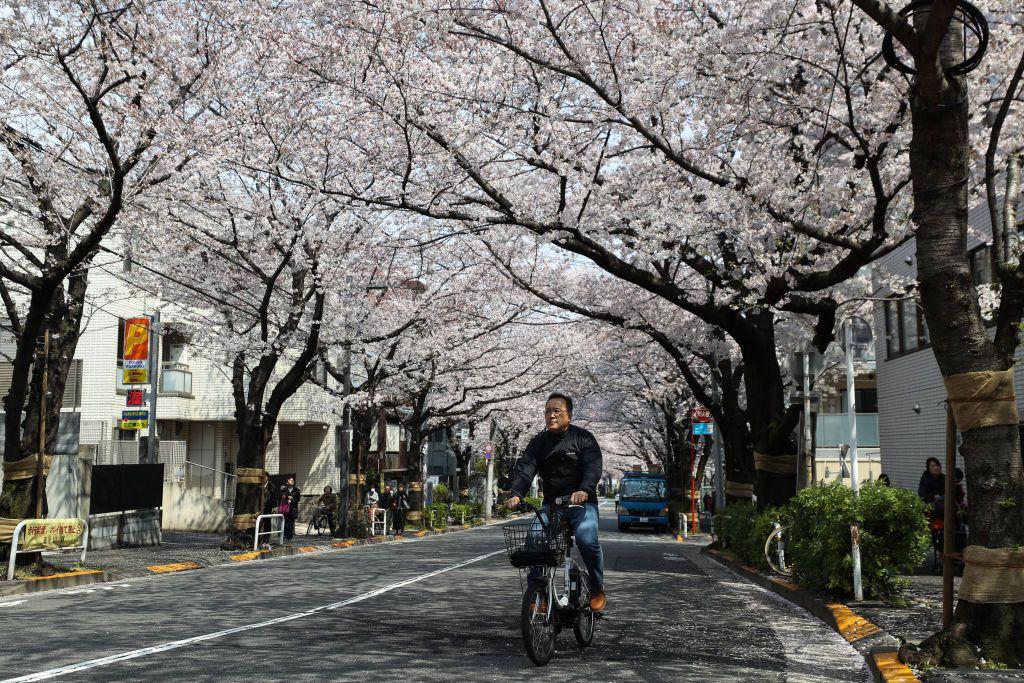 Tokyo Cherry Blossom 3