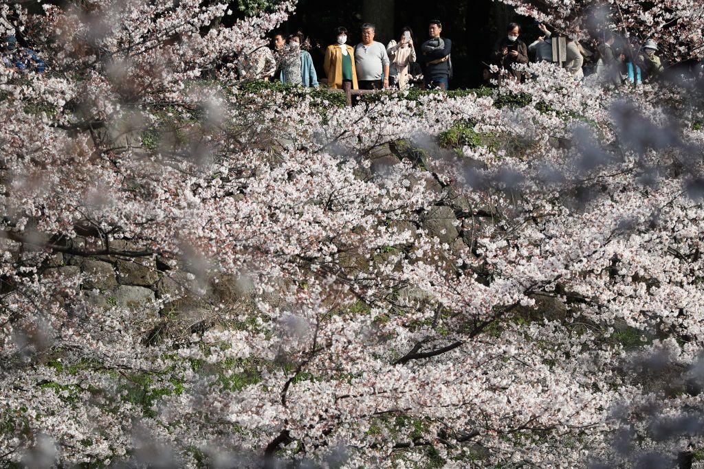 Tokyo Cherry Blossom 7