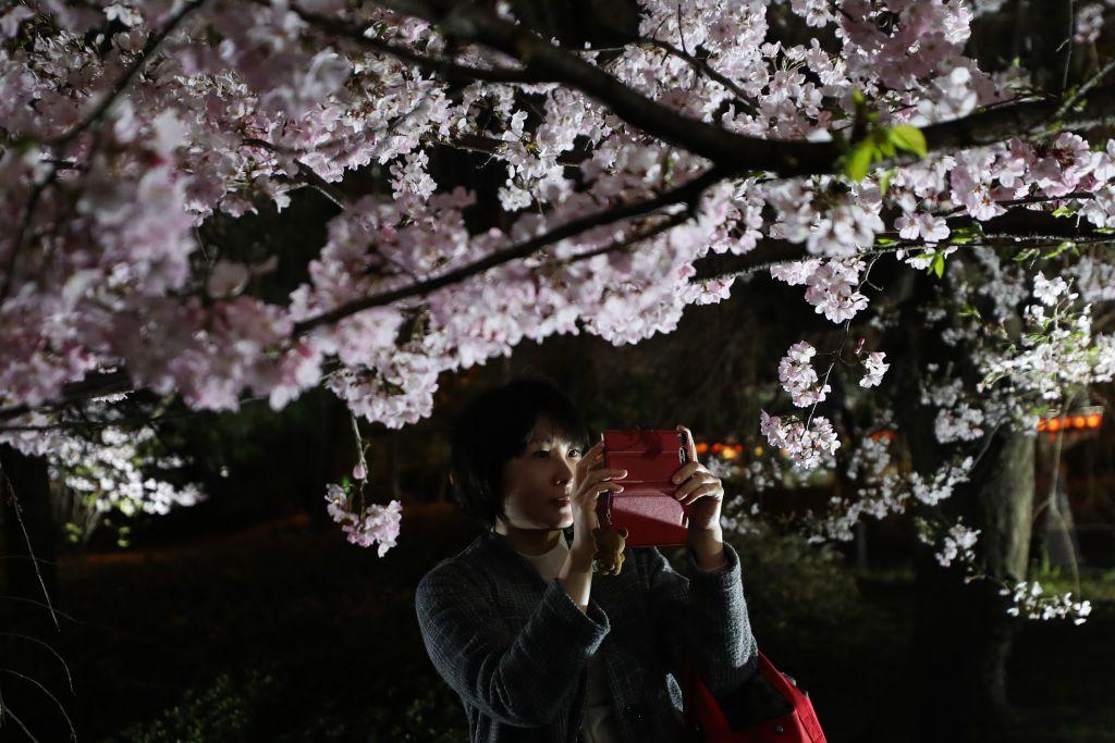 Tokyo Cherry Blossom 8