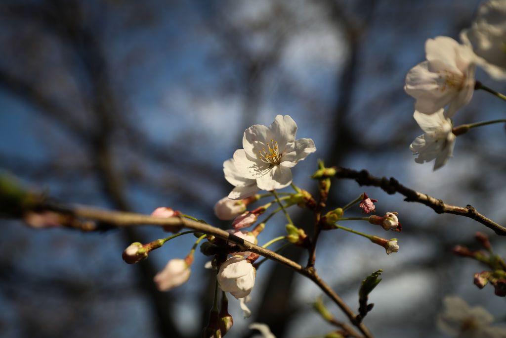 Tokyo Cherry Blossom 9