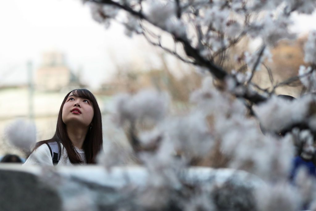 Tokyo Cherry Blossom 12