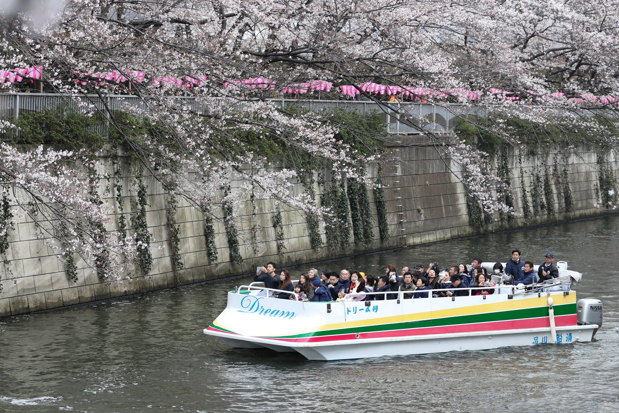 cherry blossoms sakura tokyo festival