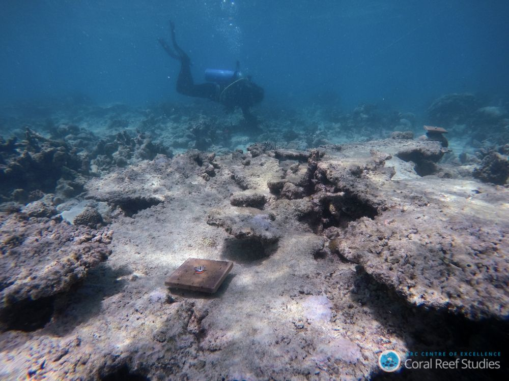 great barrier reef, coral recruitment