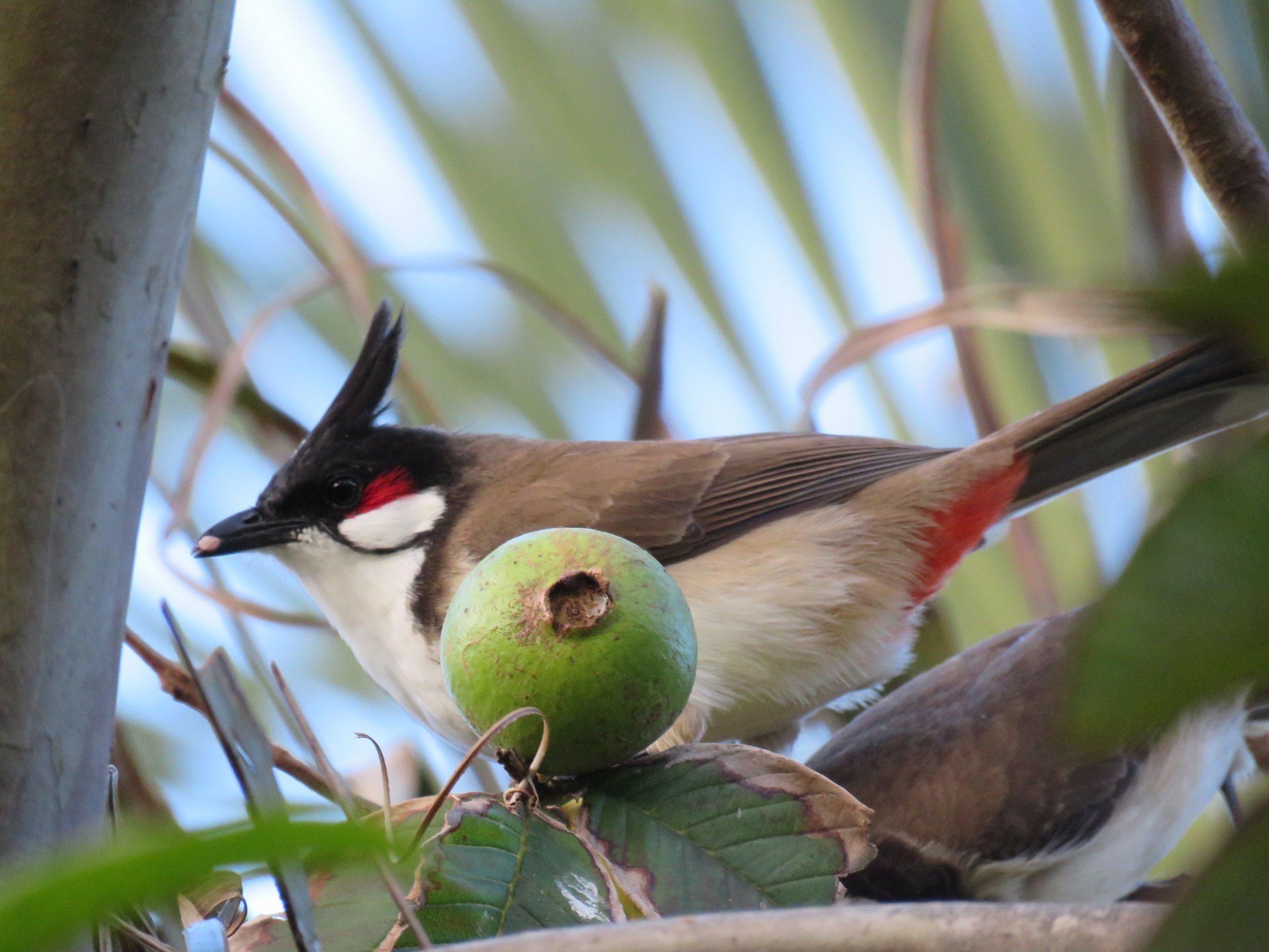Red whiskered bulbul, Psidium guava